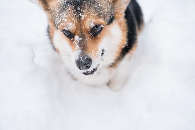 Sprytne, słodkie młode trzy kolory walijskiego corgi pembroke siedzą zimą w śniegu. pies. wysokiej jakości zdjęcie