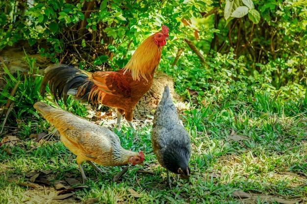 Sprytny garnek z 2 kurami, które znajdują pożywienie na trawie. bez efektu oświetlenia.