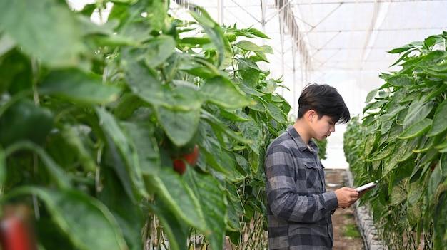 Sprytny rolnik korzystający z cyfrowego tabletu do sprawdzania jakości słodkiej papryki.