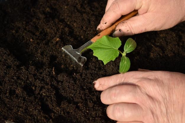 Spulchnienie gleby z bliska kiełków. przesadzanie starszej kobiety.