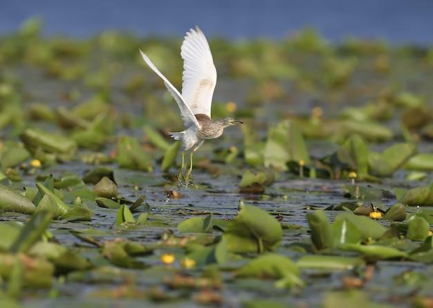 Squacco czapla w locie nad zielonym jeziorem trzciny