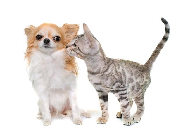 Srebrny bengalski kotek i chihuahua
