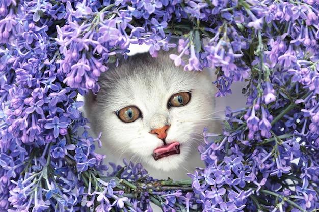 Srebrny kot brytyjskiej szynszyli wygląda z wieńca z bzu. dwa główne alergeny. kartka z życzeniami.