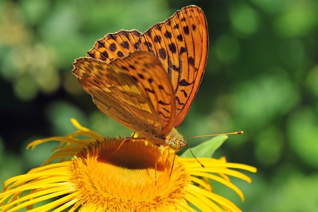 Srebrny motyl perłowy (argynnis paphia) na żółtym kwiecie. makro, małej głębi ostrości