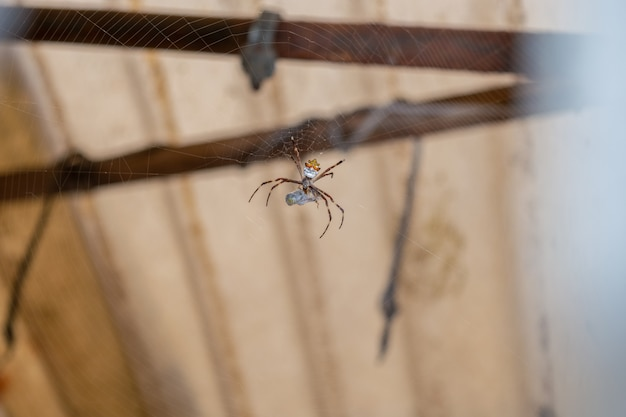 Srebrny pająk żerujący na owadzie