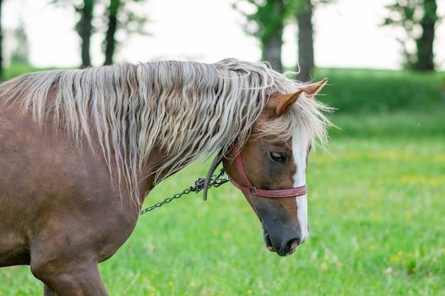 Srebrzysty gniady koń w polu na padoku. zdjęcie wysokiej jakości