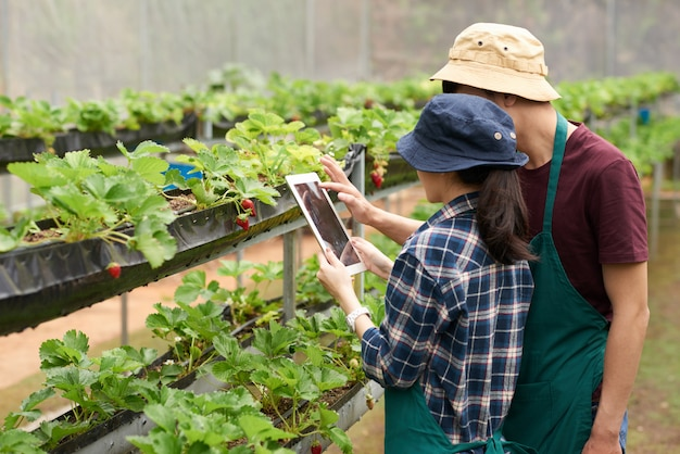 Średni strzał agronomów fotografujących truskawki z cyfrową tabletką
