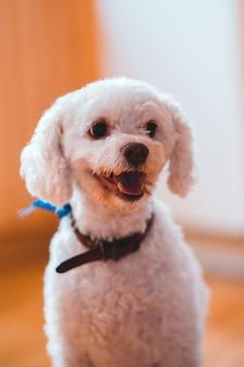 Średnio powleczony biały pies