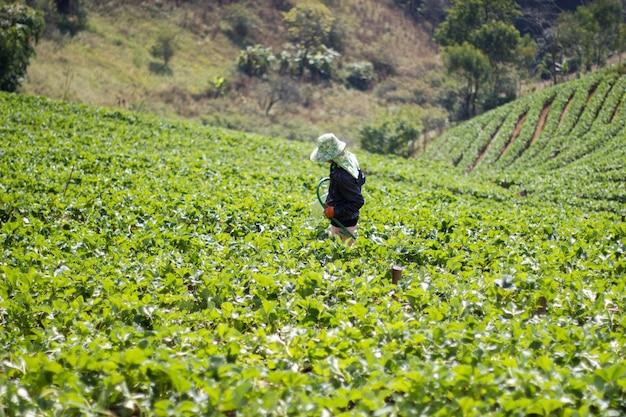 Średniorolny działanie w truskawce uprawia ziemię przy chiangmai tajlandia