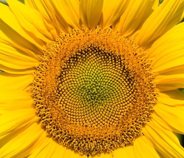 Środek kwiatostanu żółtych słoneczników na polu, rosnące pożywienie, pole słoneczników podczas kwitnienia i zapylania, zbliżenie