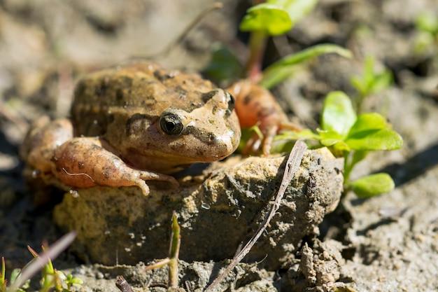 Śródziemnomorska malowana żaba odpoczywa w błocie i wodzie
