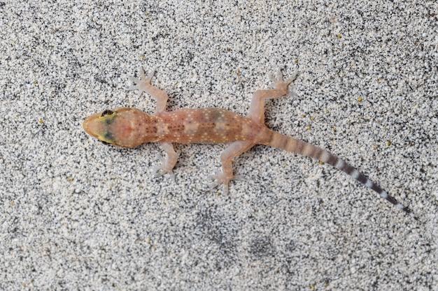 Śródziemnomorski gekon domowy (hemidactylus turcicus)