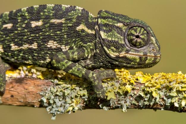Śródziemnomorski kameleon