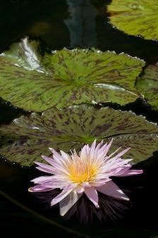 St. paul, minnesota. como park. nymphaea, rodzaj roślin wodnych, znany również jako lilia wodna.