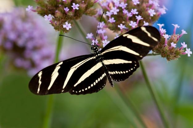 St. paul, minnesota. ogród motyli. motyl zebra longwing,
