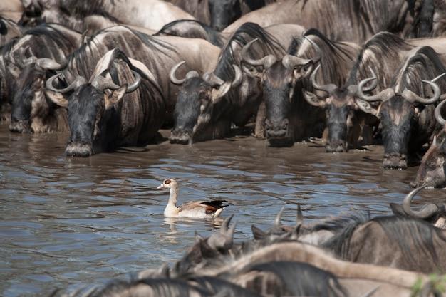 Stada gnu w parku narodowym serengeti