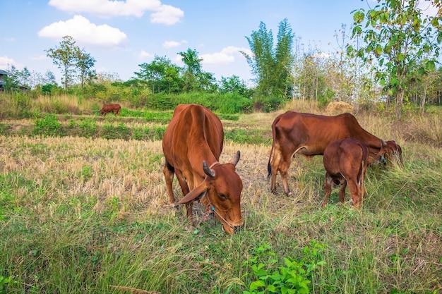 Stada krów i cieląt pasą się na środku pola