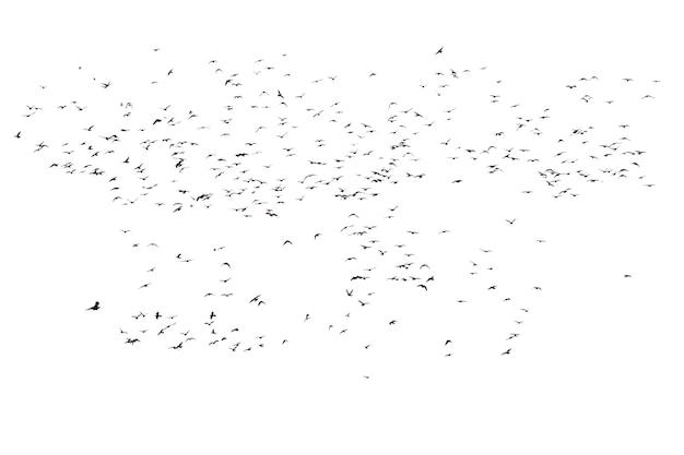 Stada latających gołębi na białym tle