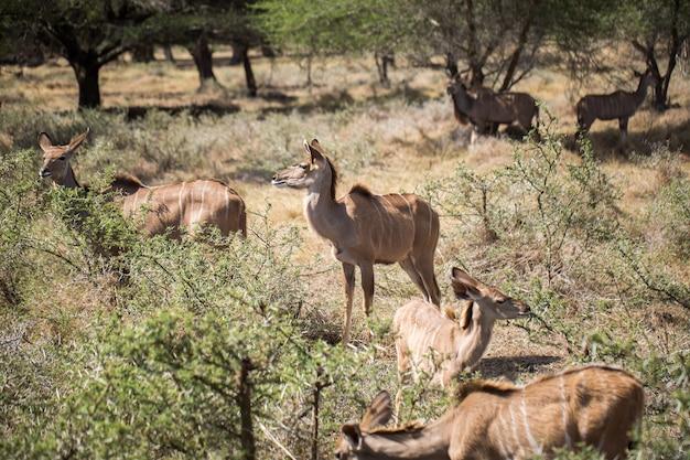 Stado afrykańskich jeleni na wolności. mauritius.