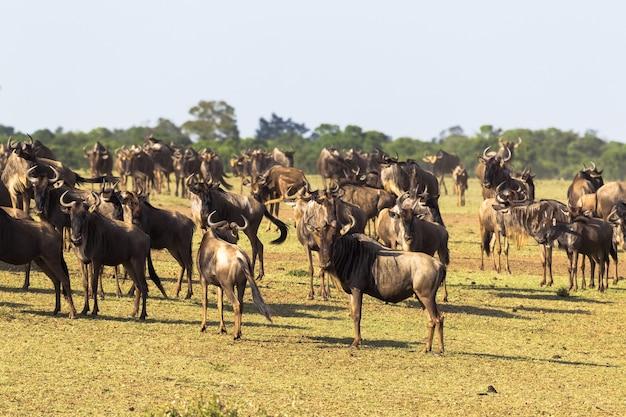 Stado antylop gnu na początku przekraczania rzeki mara w kenii w afryce
