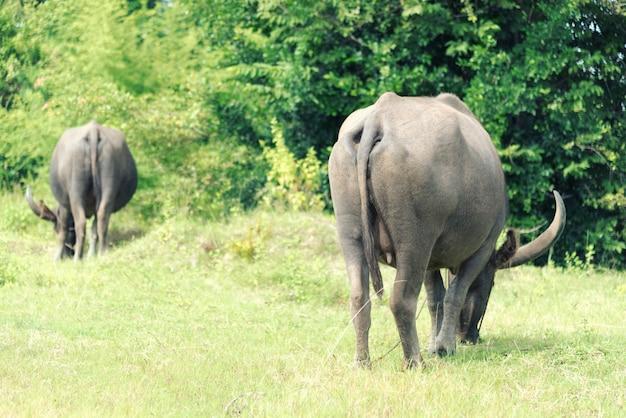 Stado bawołów je przy zielonej trawy polem. zwierzęca i naturalna koncepcja