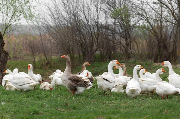 Stado białych gęsi chodzi na wiosnę po trawniku ze świeżą zieloną trawą