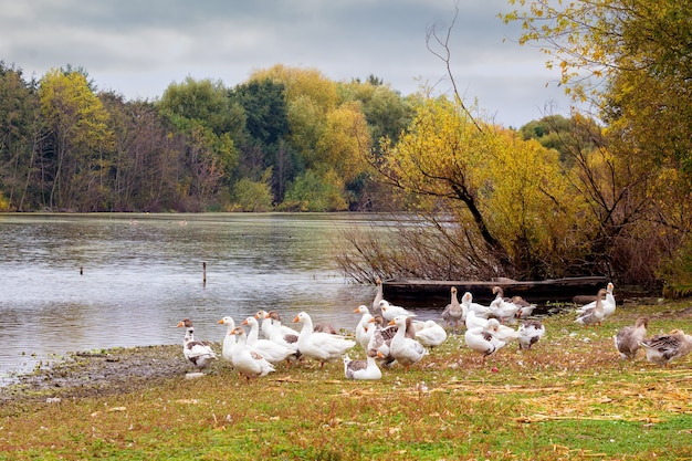 Stado białych gęsi na brzegu rzeki jesienią