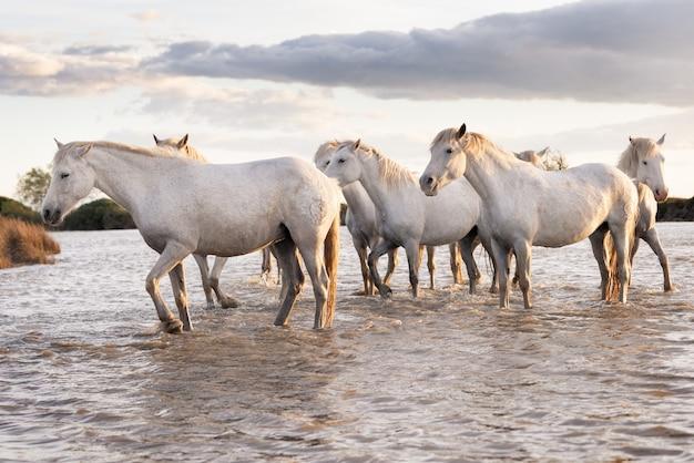 Stado białych koni biegnących przez wodę. zdjęcie zrobione w camargue we francji.