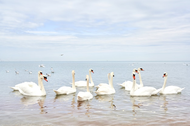 Stado białych łabędzi pływających w spokojnej, czystej wodzie morskiej sea