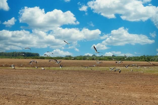 Stado bocianów ląduje na zaoranym polu w poszukiwaniu pożywienia