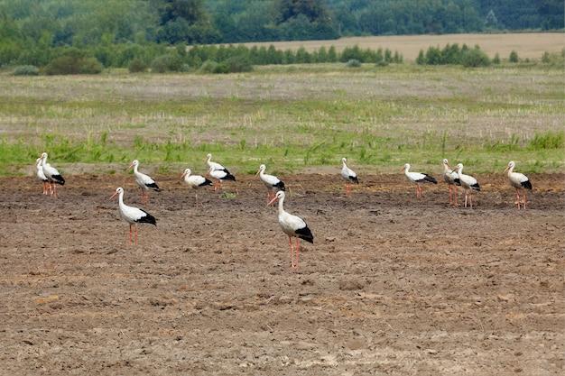 Stado bocianów na zaoranym polu w poszukiwaniu pożywienia.