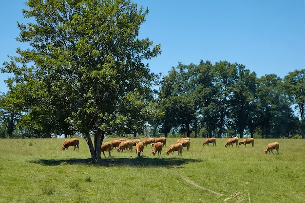 Stado brązowych francuskich krów pasących się na łące. wypasaj zwierzęta w cieniu drzewa w upalne popołudnie