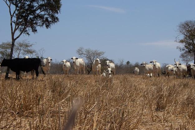 Stado bydła nellore w brazylijskim krajobrazie caatinga w słoneczny dzień