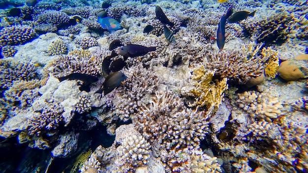 Stado czarnych ryb pływa wokół koralowca na morzu czerwonym w poszukiwaniu pożywienia
