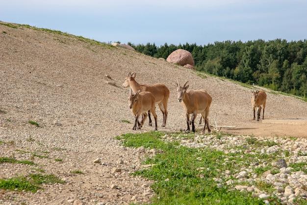 Stado czterech kóz górskich z brązową wełną przechadza się po wzgórzu przy słonecznej pogodzie. słoneczny. na ziemi jest zielona trawa. las w tle.