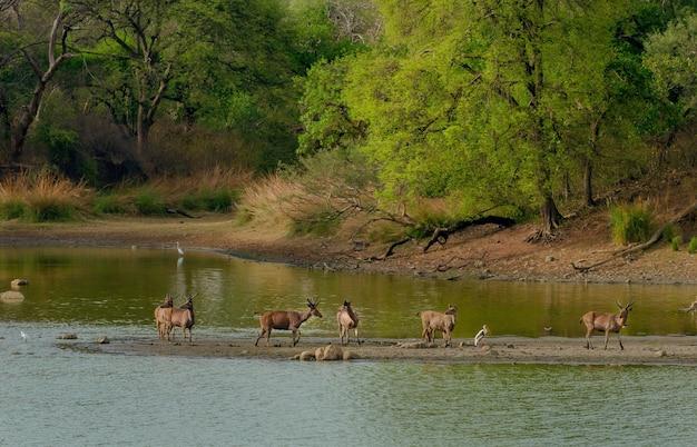 Stado dzikich jeleni pośrodku jeziora otoczonego zielenią