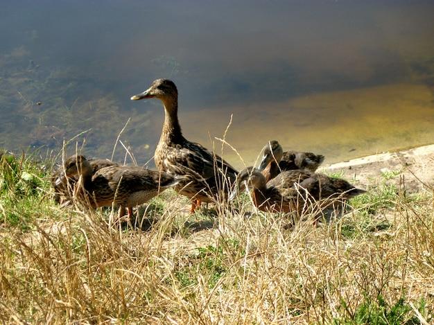 Stado dzikich kaczek w środowisku naturalnym na brzegu jeziora