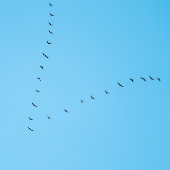 Stado dzikich ptaków latających w klinie na tle błękitnego nieba