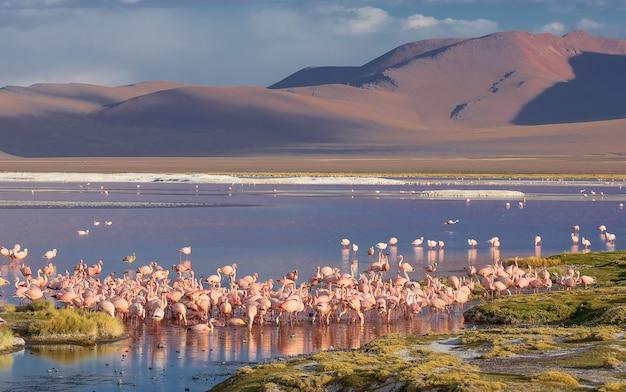 Stado flamingów andyjskich w laguna colorada potosi boliwia ameryka południowa