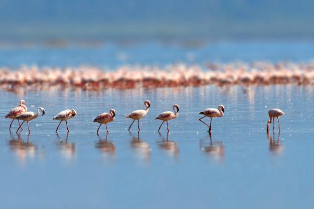 Stado flamingów brodzących w płytkiej wodzie laguny