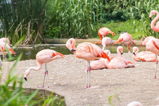 Stado flamingów, ładny różowy duży ptak, zwierzę w środowisku przyrodniczym