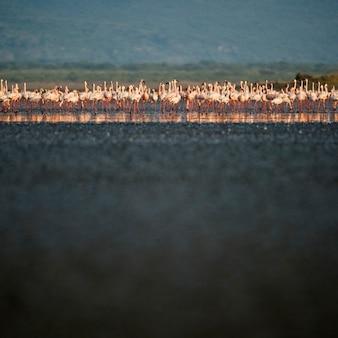 Stado flamingów rzeką, tanzania, afryka