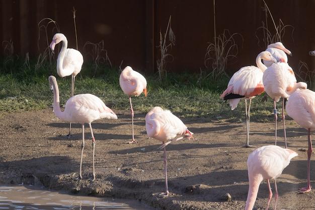 Stado flamingów spacerujące wzdłuż brzegu stawu w rezerwacie dla zwierząt