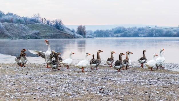 Stado gęsi nad rzeką w mroźny jesienny poranek