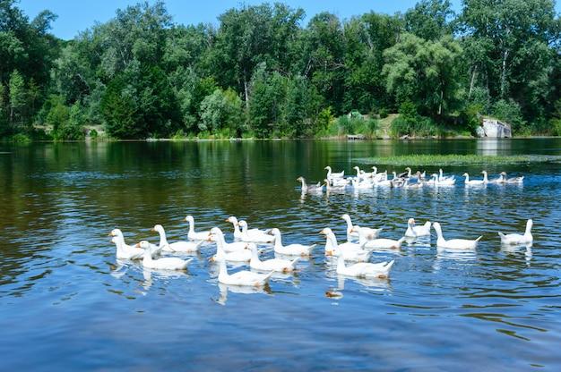 Stado gęsi pływających na wodzie. piękny widok na rzekę i las.