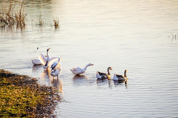 Stado gęsi unoszące się w rzece przy wybrzeżu podczas zachodu słońca