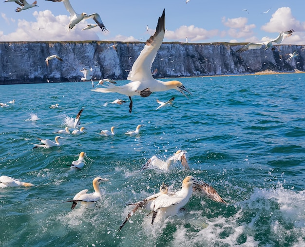Stado głuptaków latających na morzu północnym w pobliżu klifów bampton yorkshire coast uk