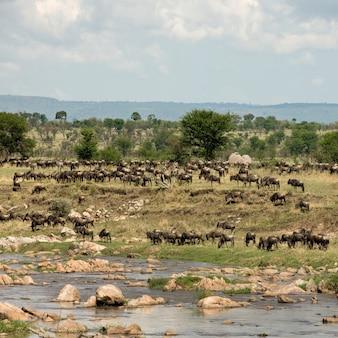 Stado gnu rzeką mara, tanzania, afryka