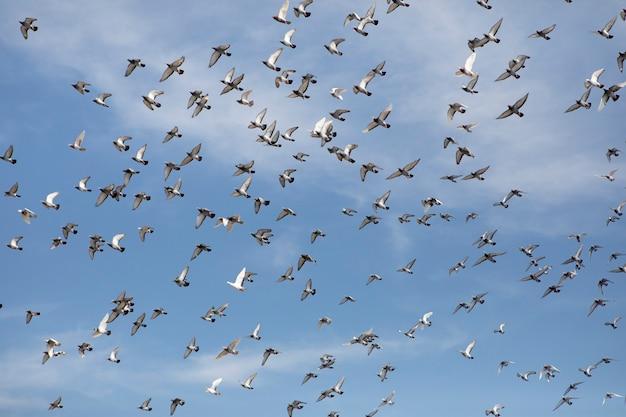 Stado gołębi pocztowych pływających pod wyczyść błękitne niebo