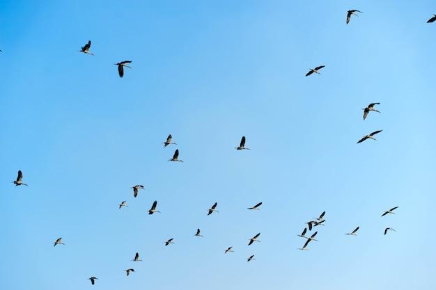 Stado gołębi ptaków leci w błękitne niebo.